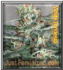 White Amnesia Just Female Mix & Match Seeds